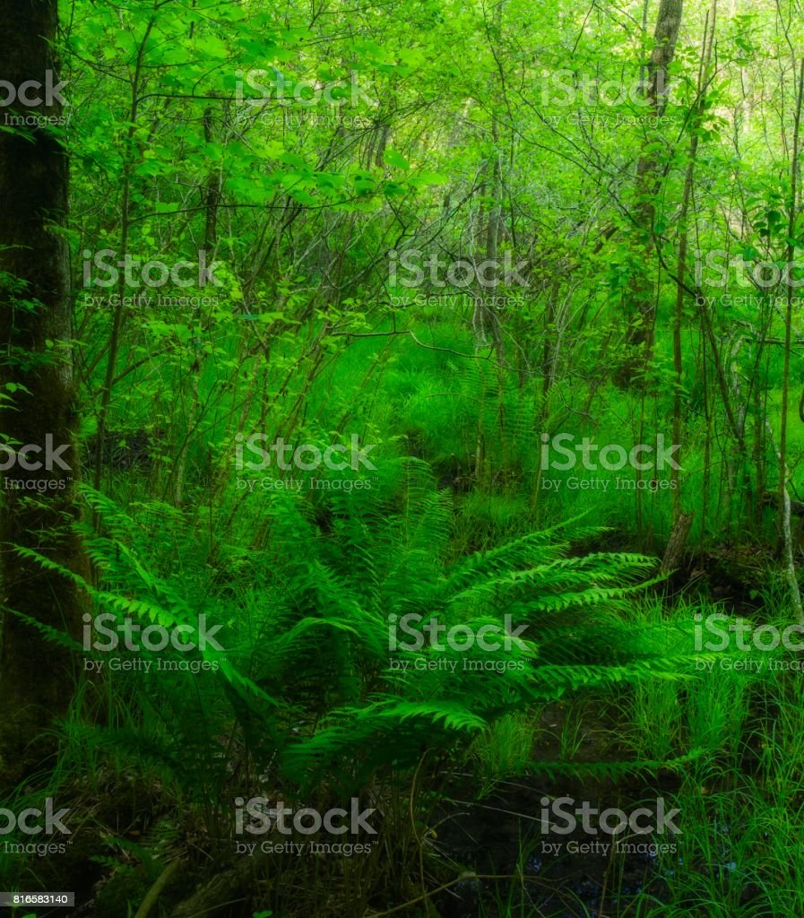 Ferns in Swampy Area stock photo