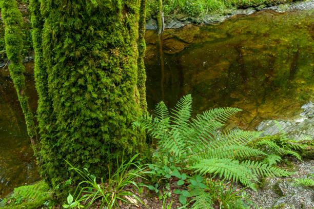 Ferns in the Lydford Gorge Natural Reserve, Devon, UK stock photo