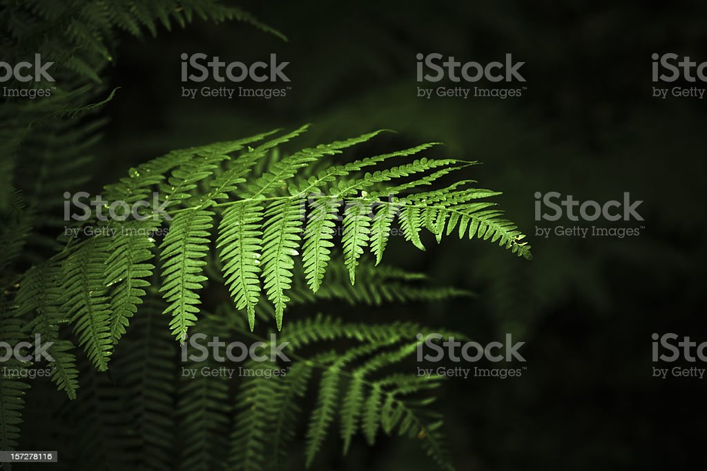 Ferns royalty-free stock photo