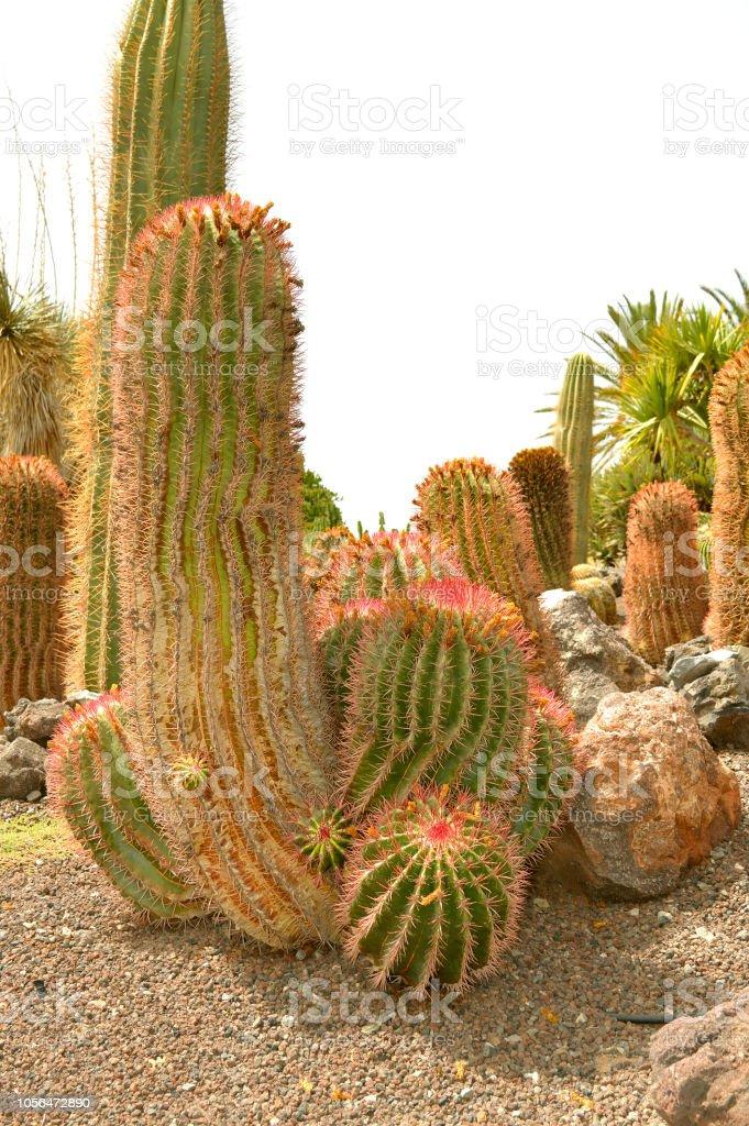 Ferocactus pilosus cactus stock photo
