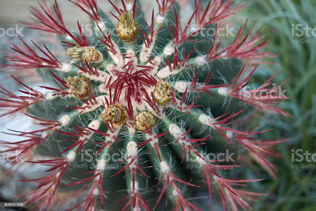 Ferocactus pilosus stock photo