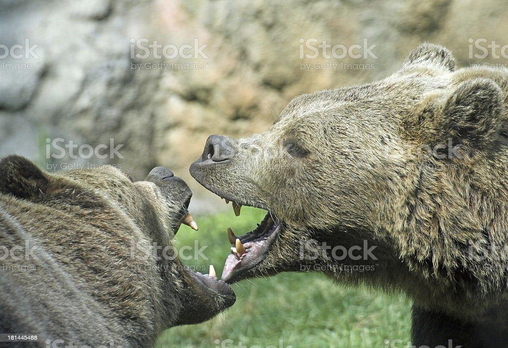 ferocious bears struggle with mighty bites stock photo