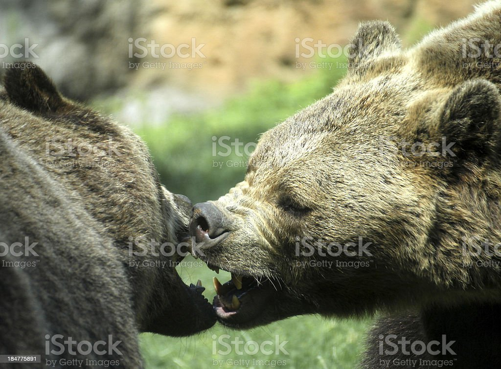 ferocious bears struggle with powerful shots and open jaws bites stock photo