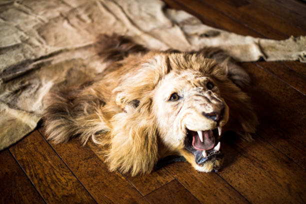 Ferocious Lion Skin Rug on Oak Flooring Color image depicting a dead lion that has been hunted and killed to be made into a rug for rich people. The lion's head is intact and it appears to be roaring in a fearsome manner. The rug is lying on oak floorboards. Room for copy space. poaching animal welfare stock pictures, royalty-free photos & images