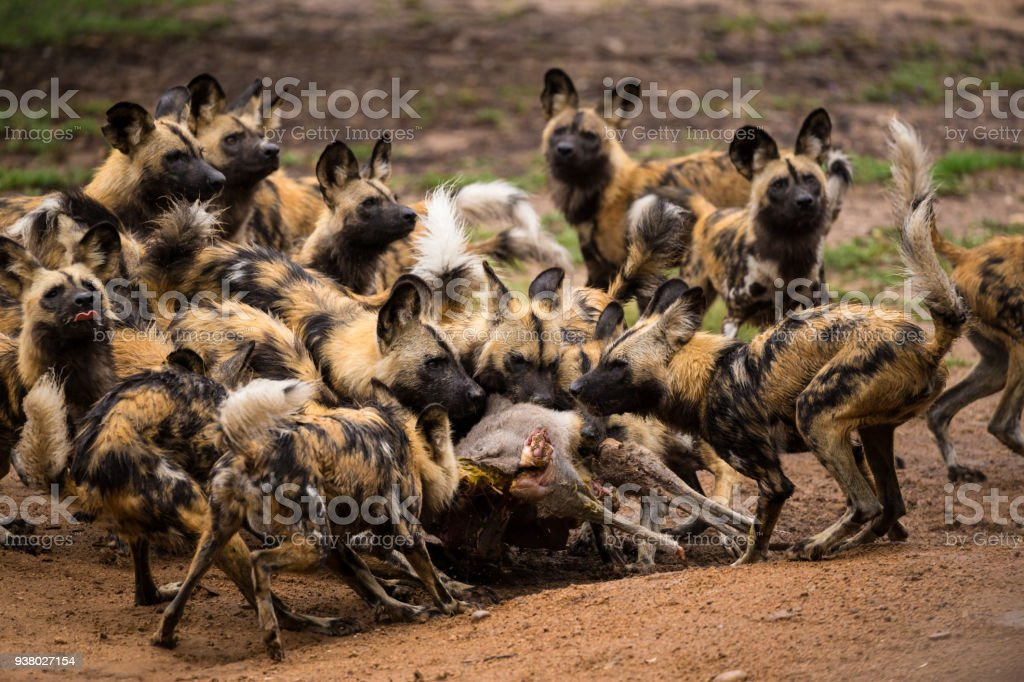 A ferocious pack of Afrocan Wild Dogs tear apart a carcass stock photo