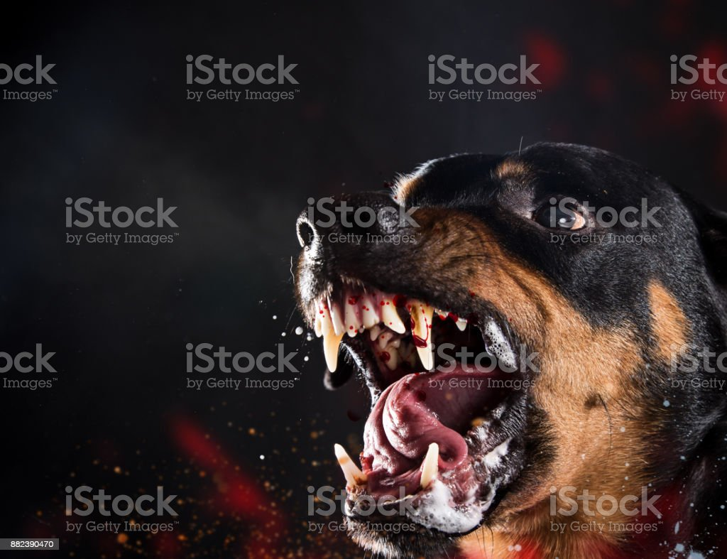 Ferocious Rottweiler barking mad on black background stock photo