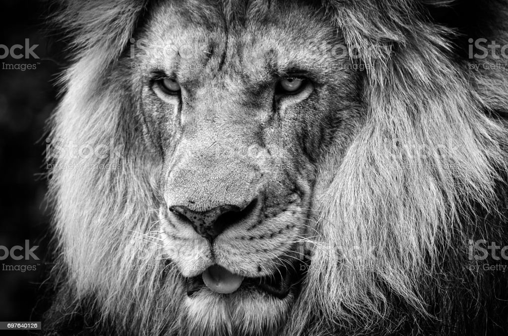 Ferocious stare of a powerful male African lion in black and white - foto stock