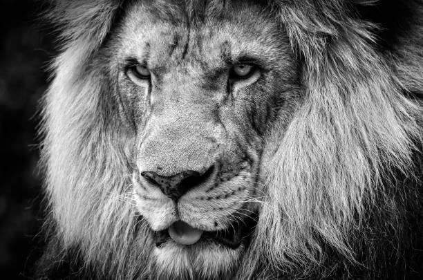 Regard féroce d'un puissant lion africain masculin en noir et blanc - Photo