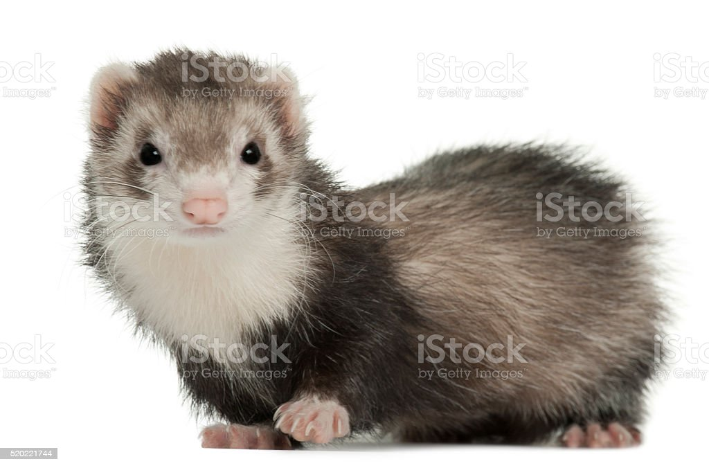 Ferret, 2 years old, in front of white background stock photo