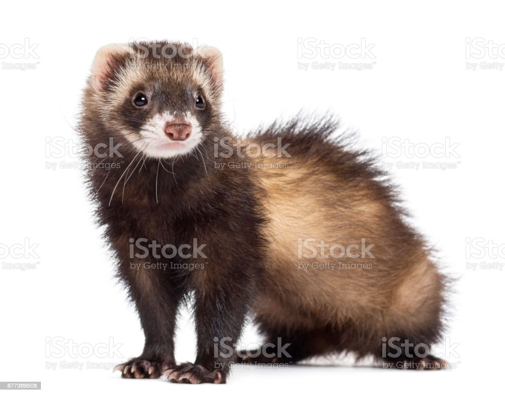 Ferret, 7 months old, looking away against white background stock photo