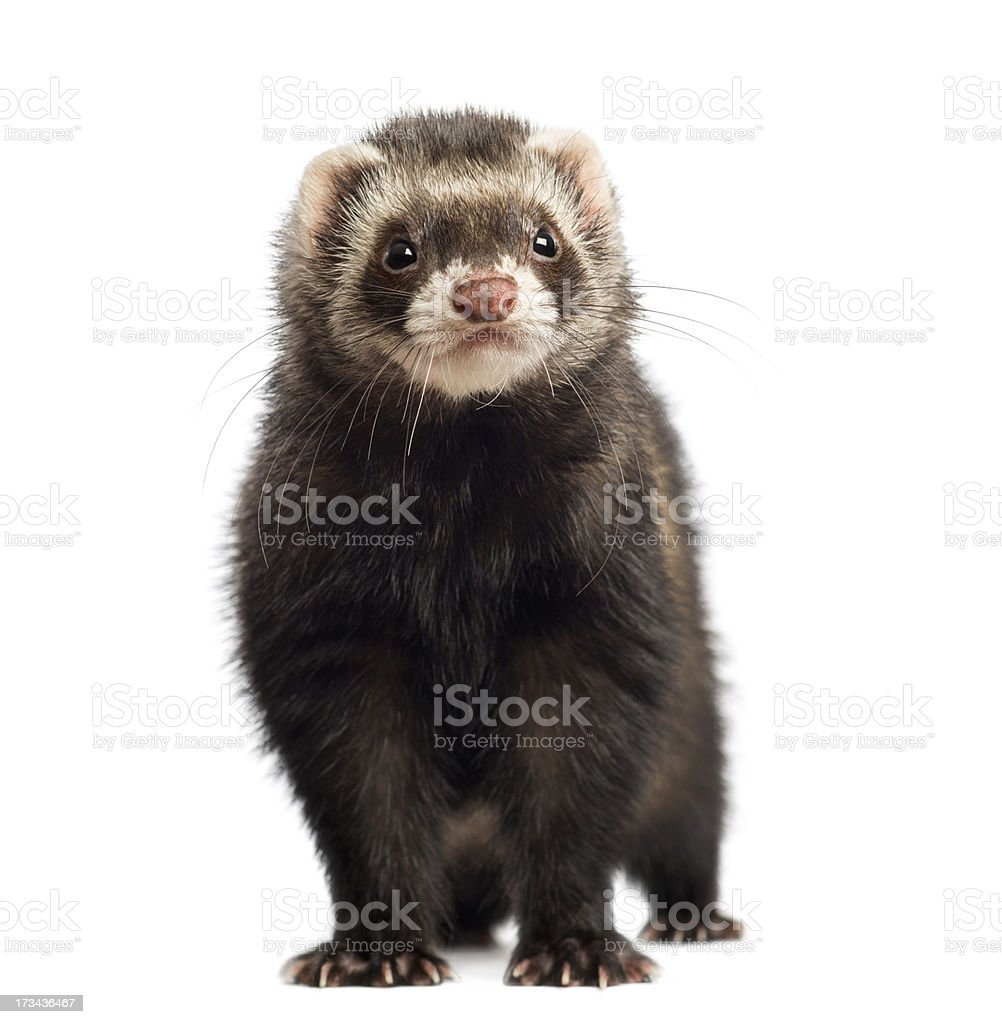 Ferret, 9 months old, looking at the camera isolated stock photo