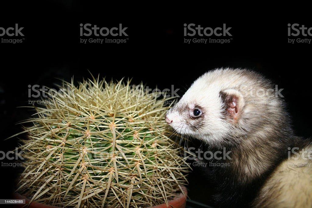 Ferret and cactus stock photo