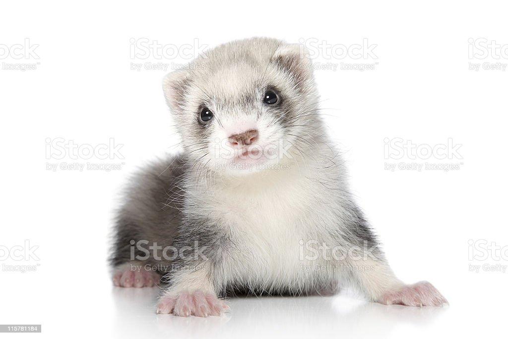 Ferret baby stock photo