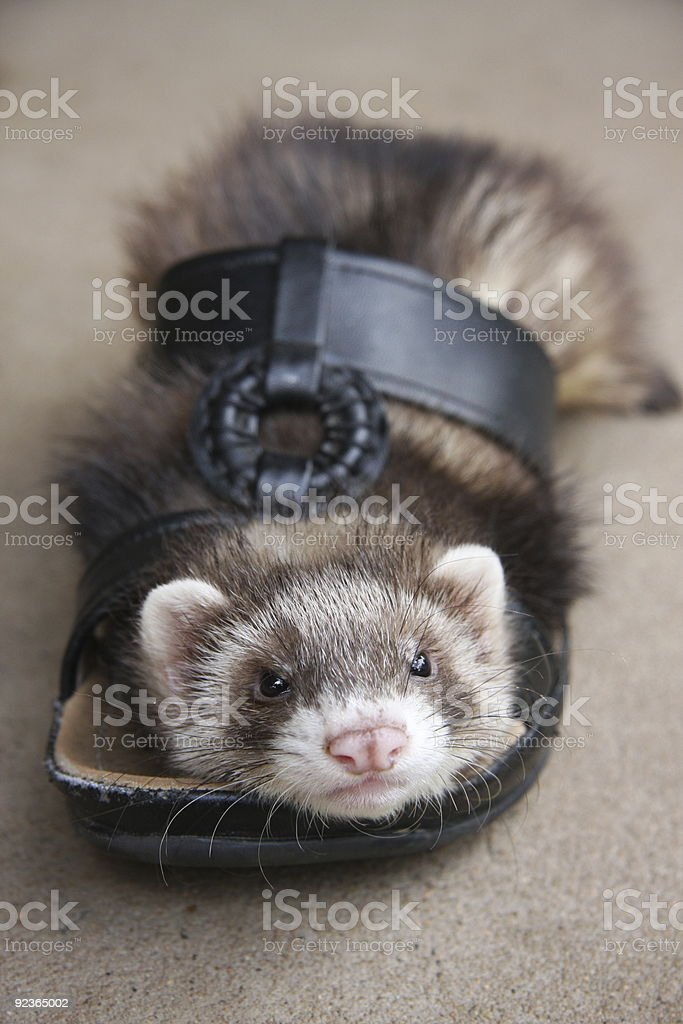 Ferret Footwear royalty-free stock photo