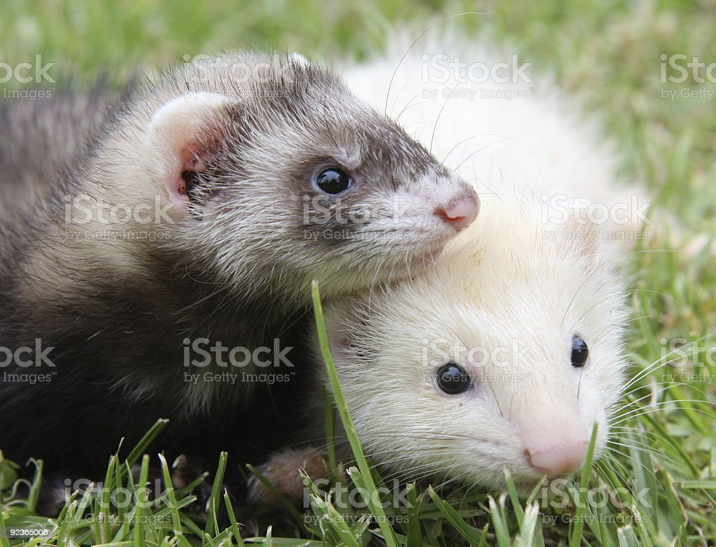 Ferret Friends royalty-free stock photo