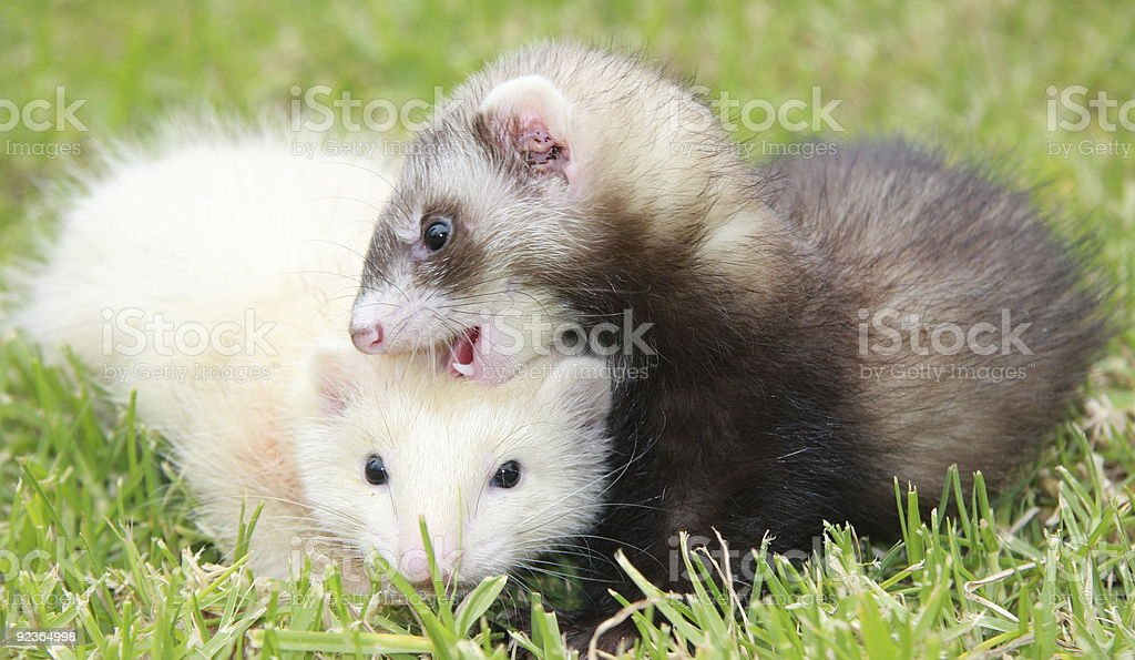Ferret Frivolities stock photo