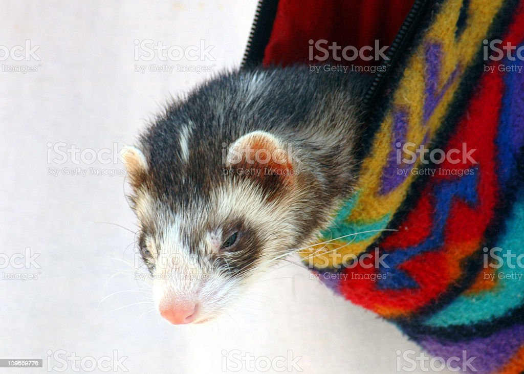 Ferret in a pouch. stock photo