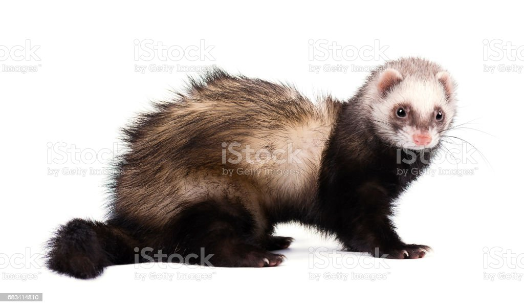 Ferret in full growth lies, isolated on white background stock photo
