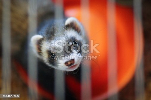 istock Ferret in the cage 490822409