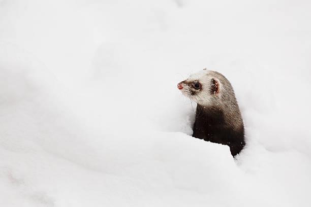frettchen in den schnee - frettchen haltung stock-fotos und bilder