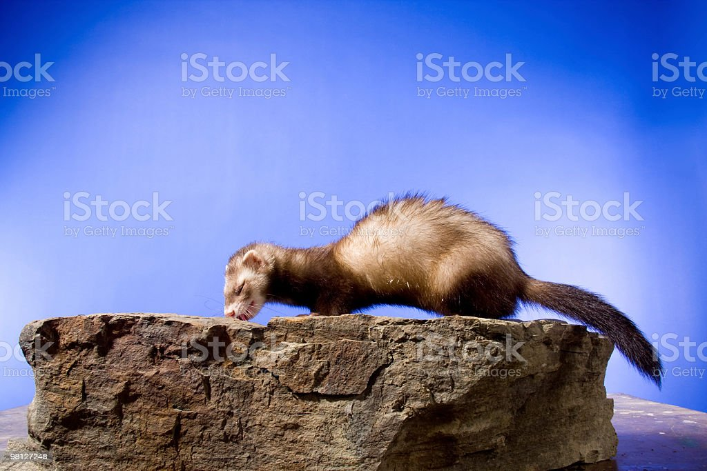 Ferret on a Rock royalty-free stock photo