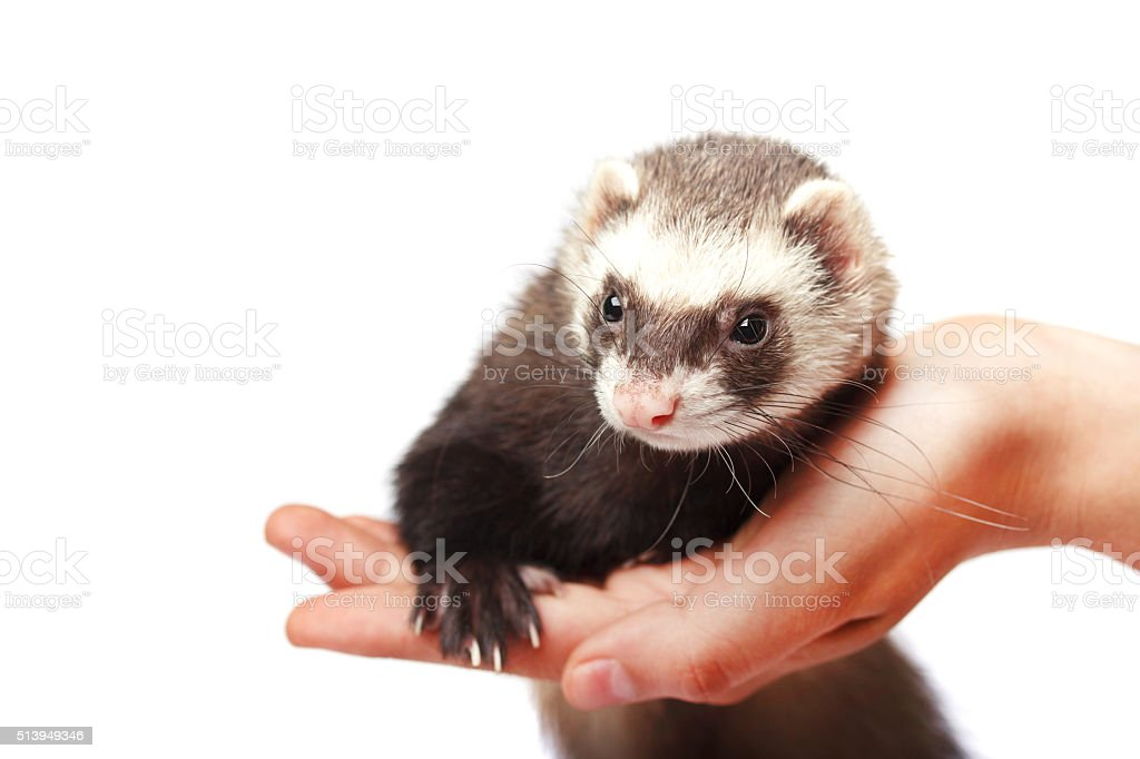 Ferret on the palm cute isolated stock photo