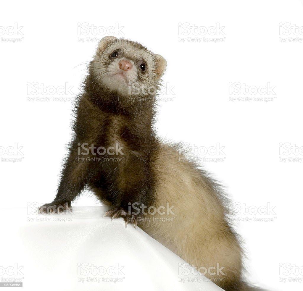 Ferret stock photo