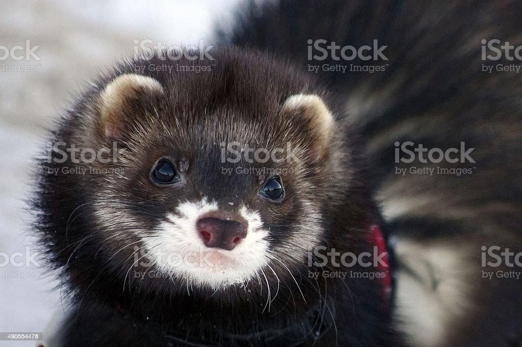 Ferret portrait stock photo