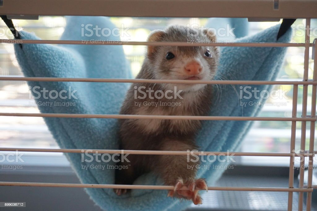 Ferret reaching for camera stock photo