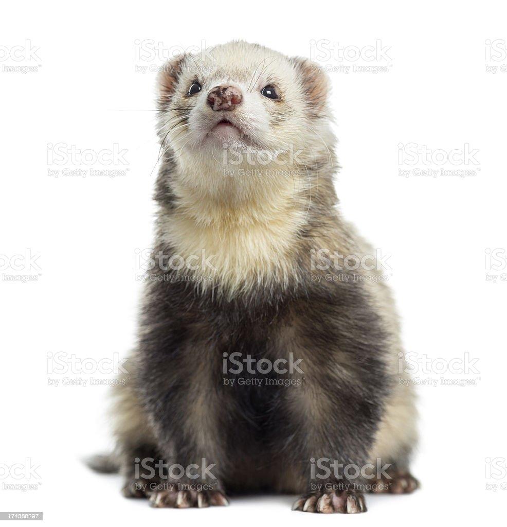 Ferret, sitting, isolated on white stock photo