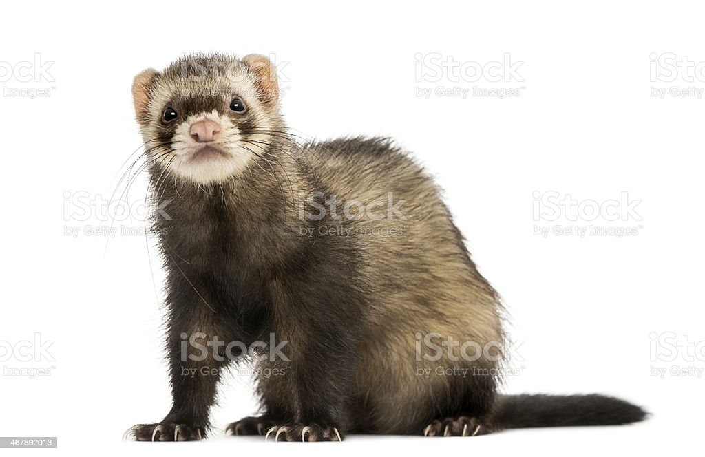 Ferret sitting, looking at the camera, isolated on white stock photo