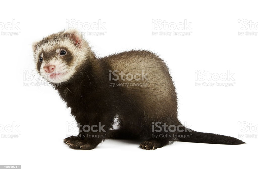Ferret sitting stock photo