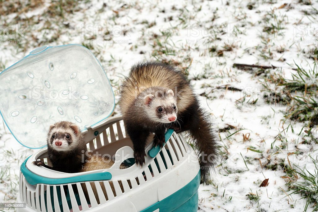 Ferrets from the carrier stock photo