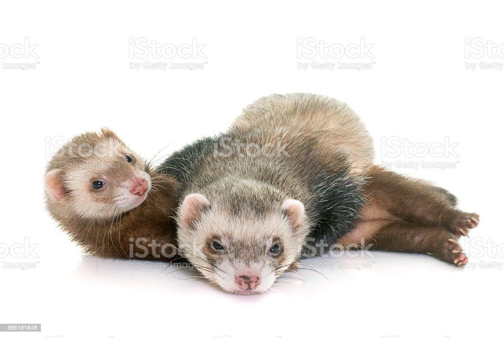 ferrets in studio stock photo