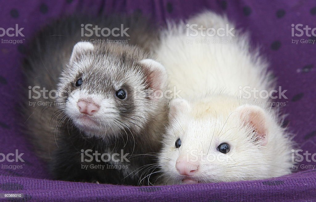 Ferrets in their hammock royalty-free stock photo