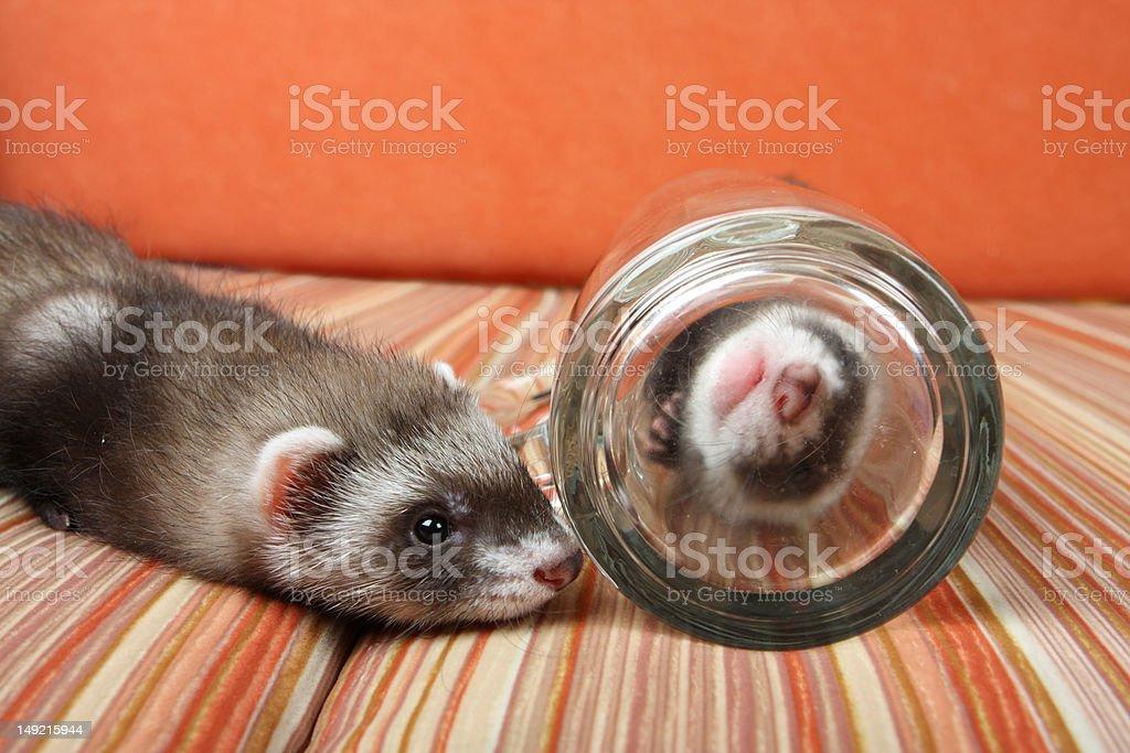 Ferret's kid stock photo