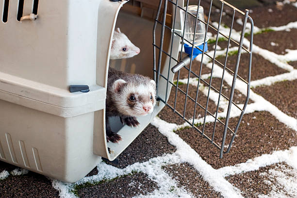 Ferrets looking for snow stock photo