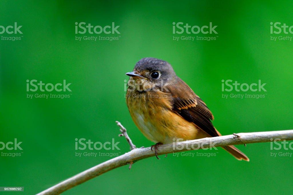 Fotografía de Ferruginosas Papamoscas Fascinaron Pájaro Marrón Con ...
