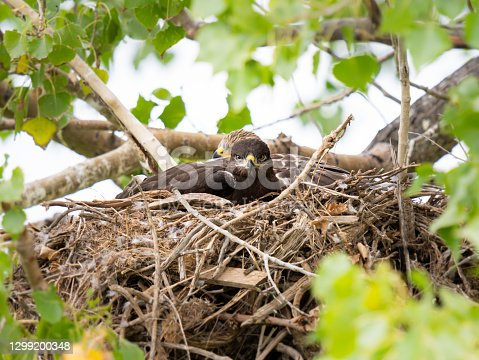 Hawk in the wild