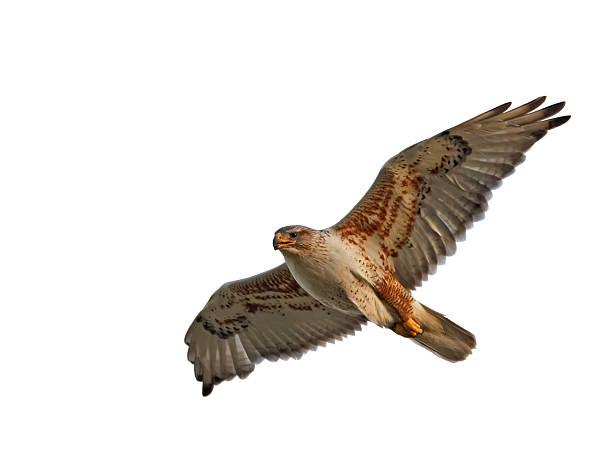 ferruginous hawk isolated - hawk bird stock photos and pictures