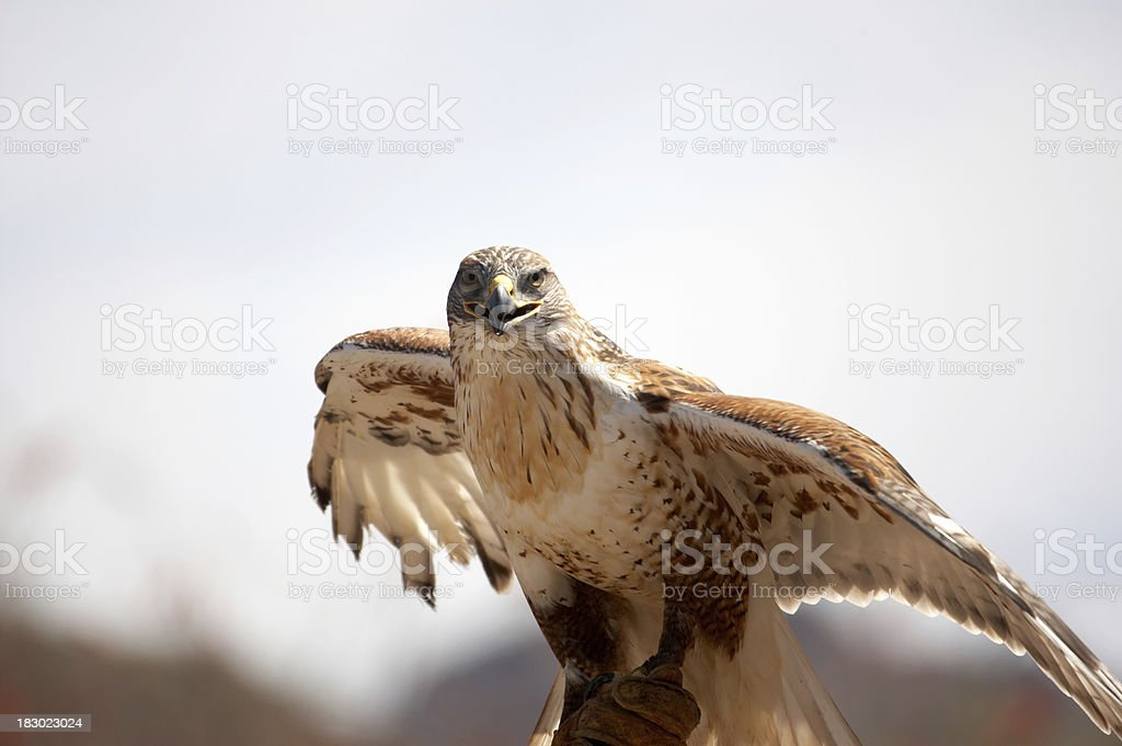Ferrungous Hawk in Arizona desert stock photo