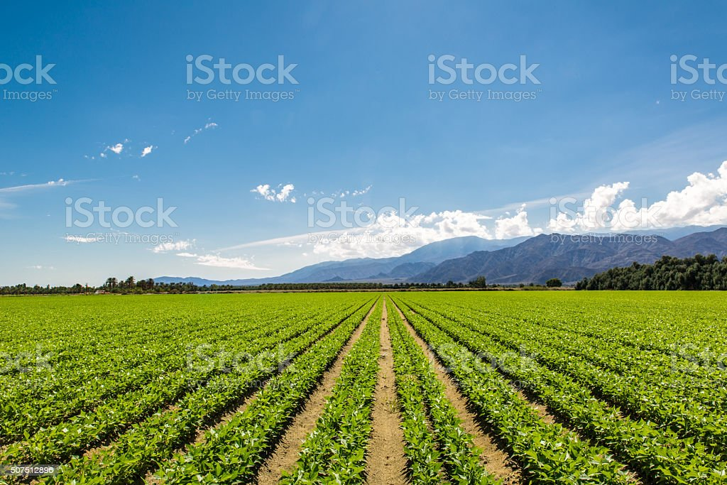 Fertile Agricultural Field of Organic Crops in California Organic Crops Grow on Fertile Farm Field in California. Vegetables in a row, clear skies and mountains in the background.  Abundance Stock Photo