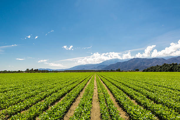 Fertile Agricultural Field of Organic Crops in California Organic Crops Grow on Fertile Farm Field in California. Vegetables in a row, clear skies and mountains in the background.  cultivated land stock pictures, royalty-free photos & images