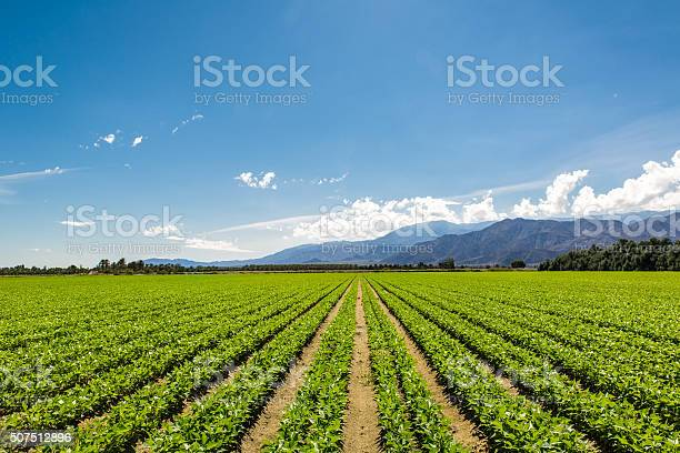 Fertile Agricultural Field Of Organic Crops In California Stock Photo - Download Image Now