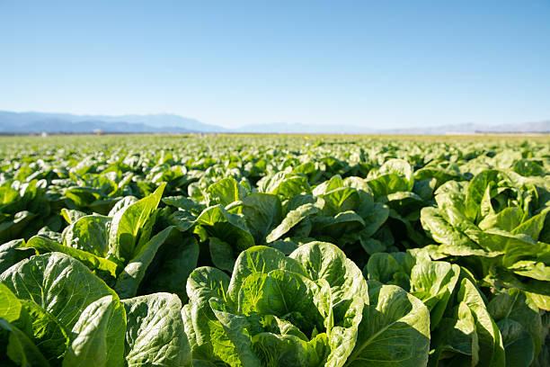 fertile field of organic lettuce grow in california farmland - marul stok fotoğraflar ve resimler