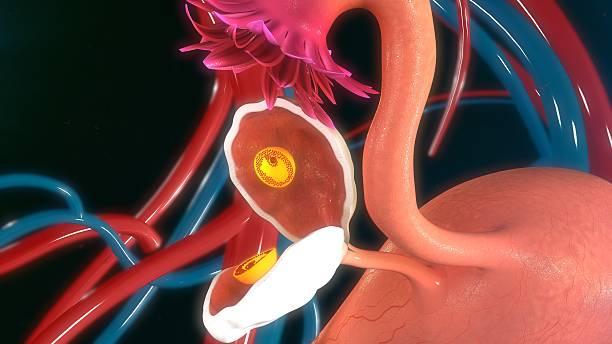 Fertilised egg in ovary stock photo