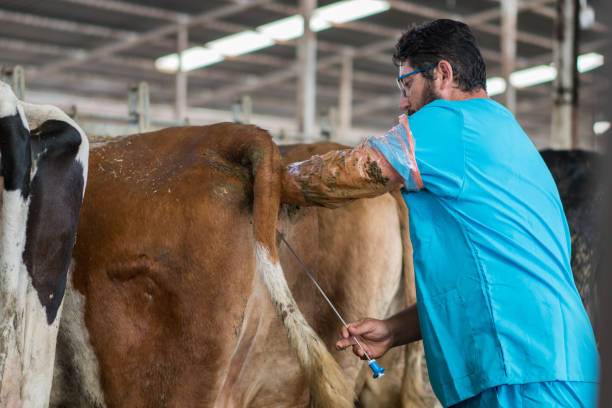 Fertility testing dairy cattle Fertility testing dairy cattle artificial insemination stock pictures, royalty-free photos & images