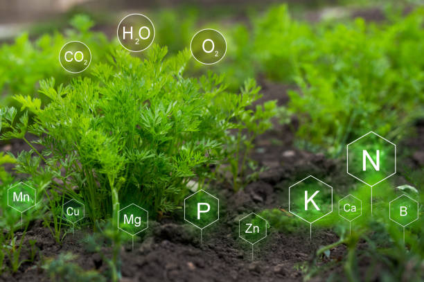 Fertilization and the role of nutrients in carrot plant life development. stock photo