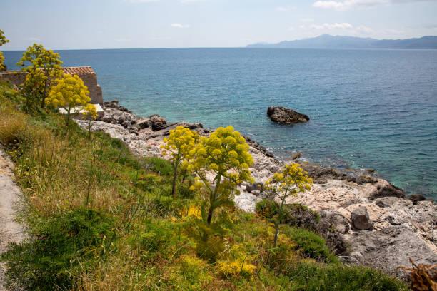 Ferula communis oder Riesenfenchel in Blüte mit großen gelben Schirmblumen in der Nähe von Monamvasia, Griechenland – Foto