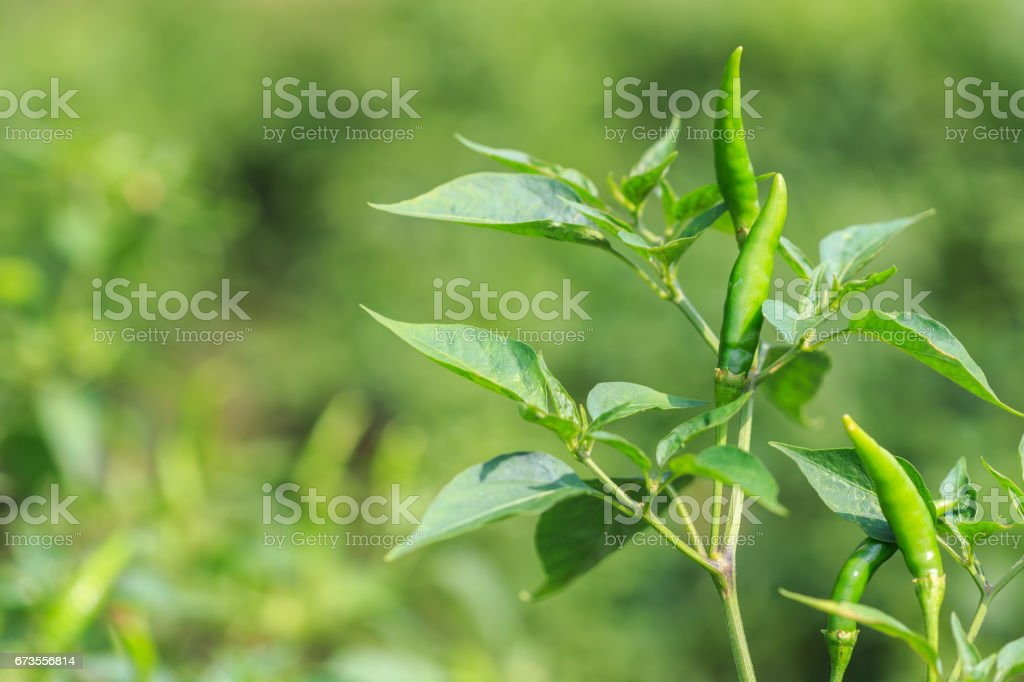 Fesh hot chilli on tree in field or garden royalty-free stock photo